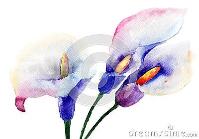 Fleurs de zantedeschia