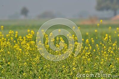 fleurs et culture de moutarde photos stock image 34850143. Black Bedroom Furniture Sets. Home Design Ideas