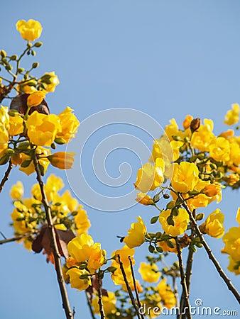 fleurs jaunes d 39 arbre de coton en soie photo stock image 40638096. Black Bedroom Furniture Sets. Home Design Ideas