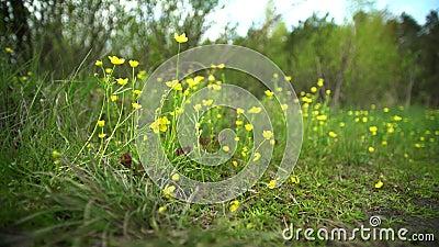 Fleurs jaunes en premier ressort, primevères Dans la forêt sur la pelouse développez-vous, les coups de vent, le soleil brille clips vidéos