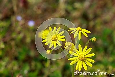 fleurs jaunes sauvages photo stock image 69945302. Black Bedroom Furniture Sets. Home Design Ideas