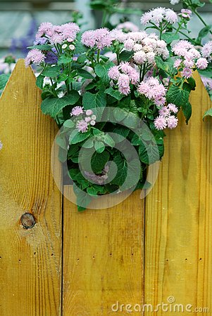 Fleurs roses d Ageratum