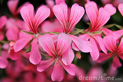 Fleurs roses de cascade de géranium