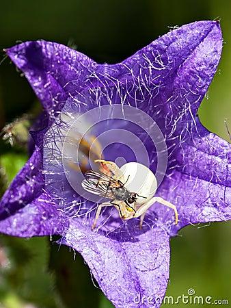 Fliege auf einer Spinne