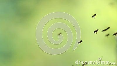Fliegenbienen mit grünem Hintergrund
