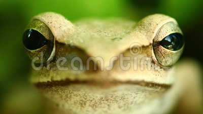 Fliegender Baum-Frosch-Makrokopf und Augen-Porträt schließen oben stock video