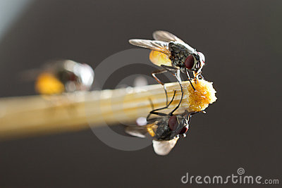 Flies hold on bamboo chopstick