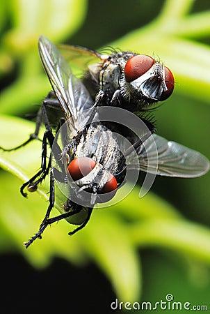 Free Flies Mating Royalty Free Stock Photo - 13159405