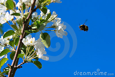 Flight of bumble bee