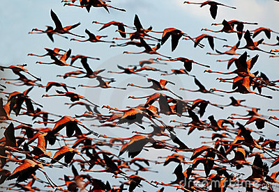 Flight of a flamingo in the sky.
