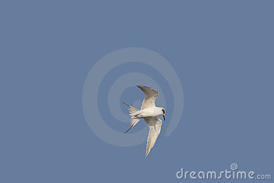 In-Flight Forsters Tern on Blue