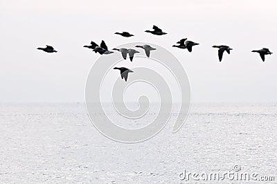 Flight of geese