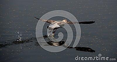 Flight of gull