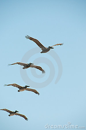 Free Flight Of Pelicans Stock Images - 10557734
