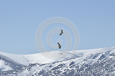 Flight of a pair of vultures