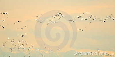 Flight of terns at dawn