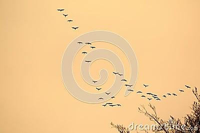 Flight of wild ducks