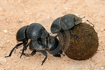 Flightless Dung Beetles