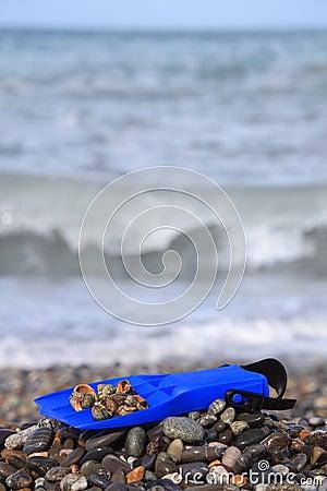 Flipper with seashell on stony beach