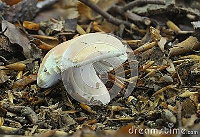 The Flirt fungus - Russula vesca