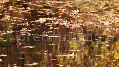 Floating autumn leaves with reflections stock footage