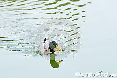 Floating Mallard