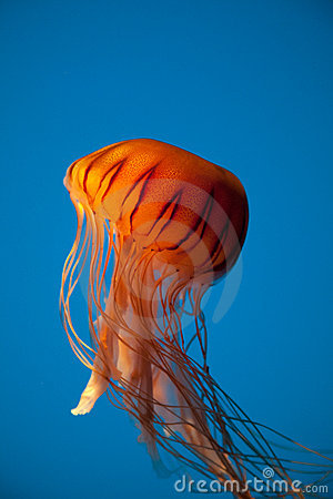 Floating Orange Jellyfish on Blue Background