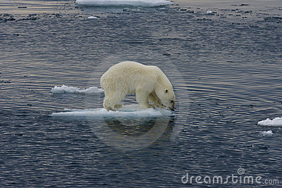 Floating Polar bear cub before jump 3