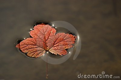 Floating vine maple leaf