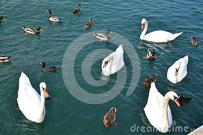 Flock of aquatic birds