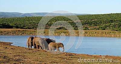 Flock av afrikanska elefanter