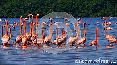 Flock av rosa flamingo i Celestun, Mexico stock video