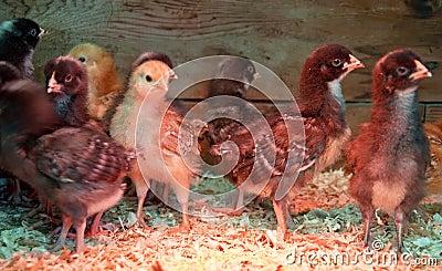 Flock of Baby Chicks Under Heat Lamp