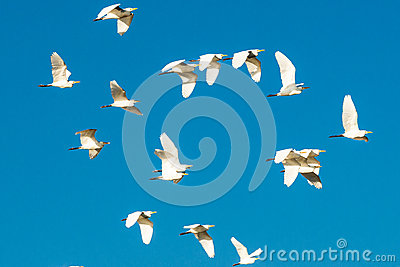 Flock of birds in the blue sky
