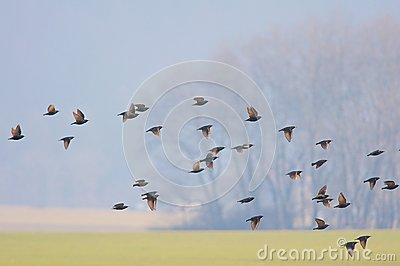 Flock of birds over country field