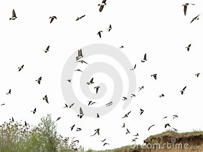 Flock of birds swallows isolated on a white