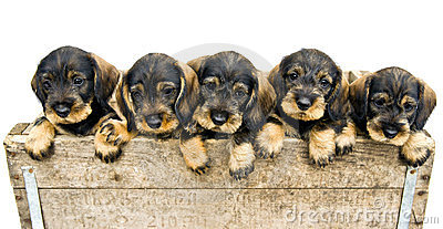Flock of dachshund puppies.