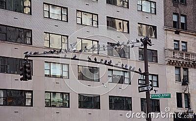Flock of doves in Manhattan