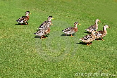 Flock of ducks walking in garden green grass