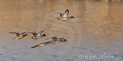 A flock of Eurasian Teals in flight