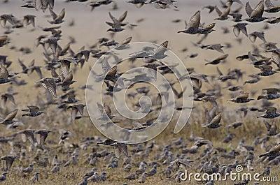 Flock of european starlings
