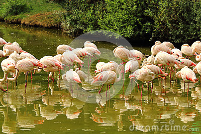 Flock Of Flamingos Standing In Pond Stock Photo Image 65554419