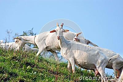 A flock of goats