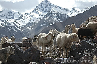 Flock of goats and sheep
