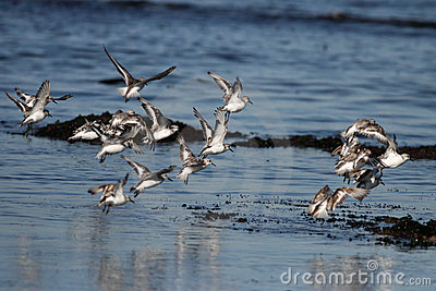 Flock of little sea birds in flight