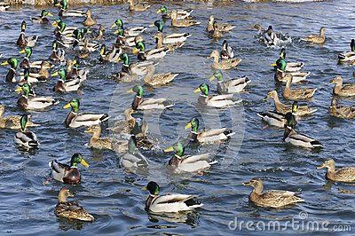 Flock of Mallard Ducks and Drakes in the Lake