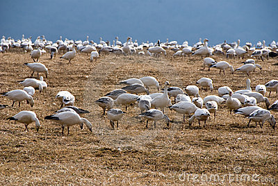 Flock of migrating snow geese