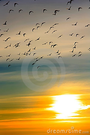 Free Flock Of Ducks At Sunset Stock Photos - 18691073
