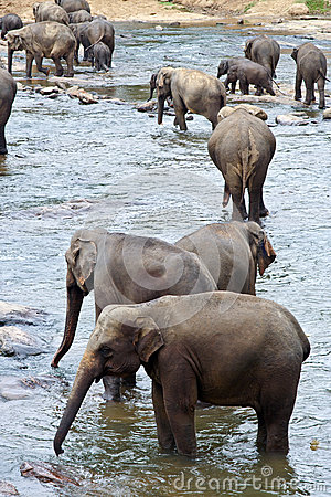 Free Flock Of Elephants In The River Stock Photography - 40579902
