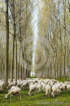 Free Flock Of Sheep Grazing Royalty Free Stock Photo - 97726455